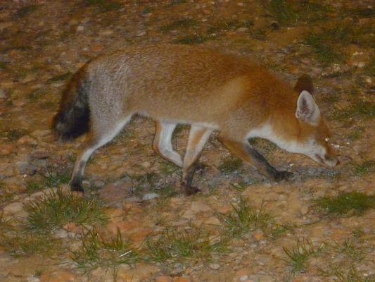 https://www.navamuel.es/images/Animales/Zorro.jpg